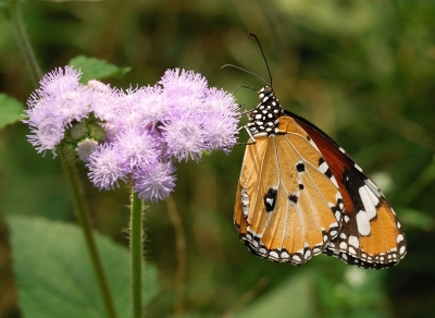 Butterfly on Mimosa