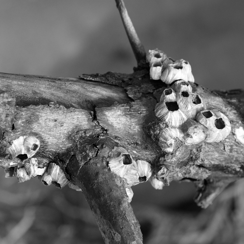 Barnacles on a dry branch