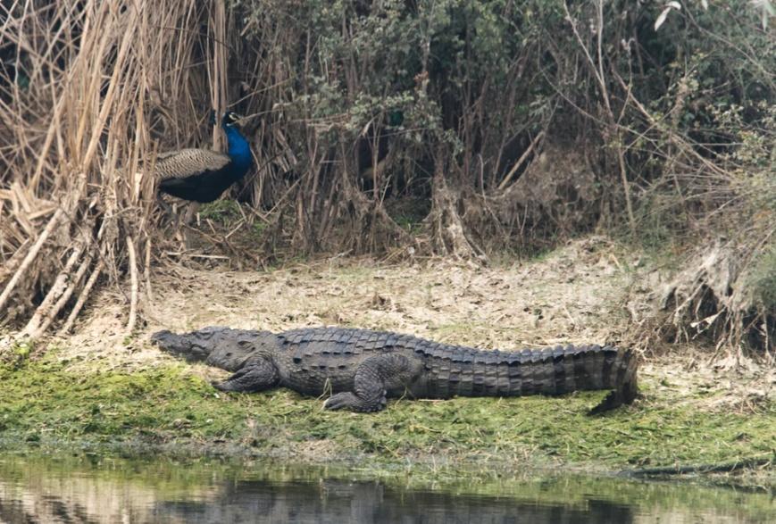 Crocodile and Peacock