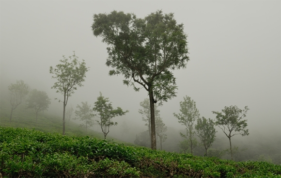 Tea Plantation in Fog