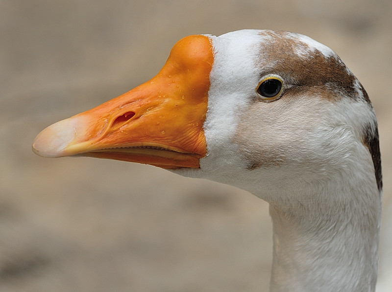 Goose captured with a Nikon D200 and Sigma 105mm lens using Manfrotto 680B monopod