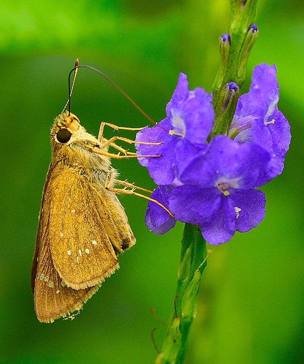 Moth photographed with Sigma 105mm macro EX DG lens on Nikon Df