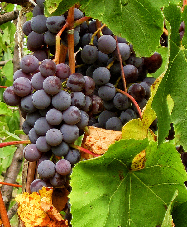 Grapes with Compact Camera