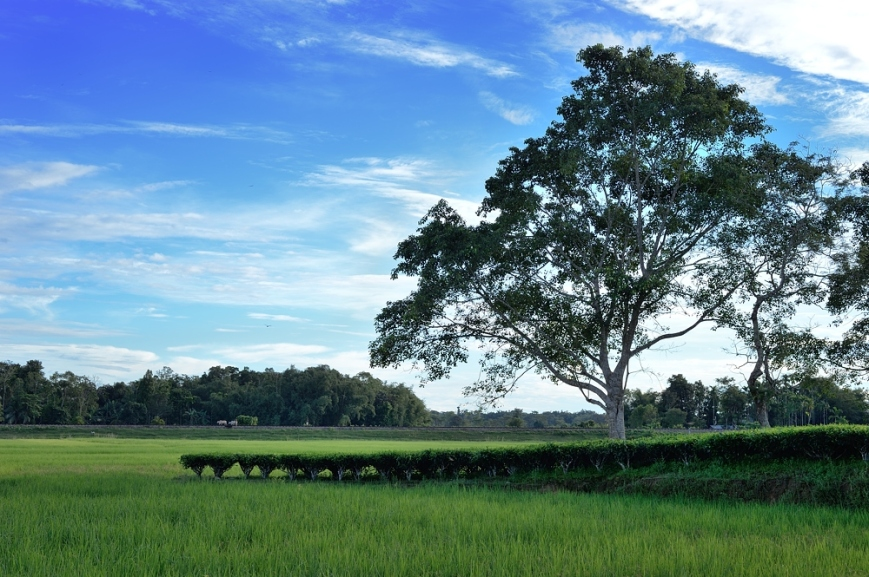 Tree in Tea and Rice field
