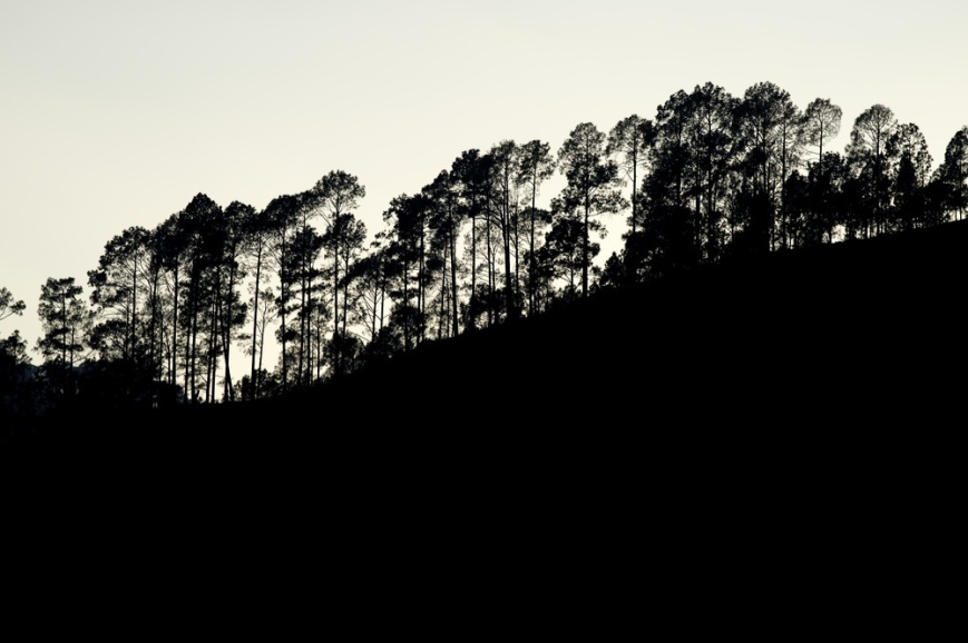 Silhouette of Pines