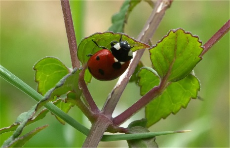 Ladybird under a leaf