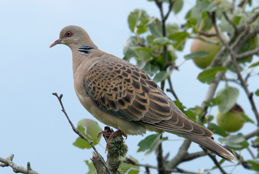 Turtle Dove on an apple tree
